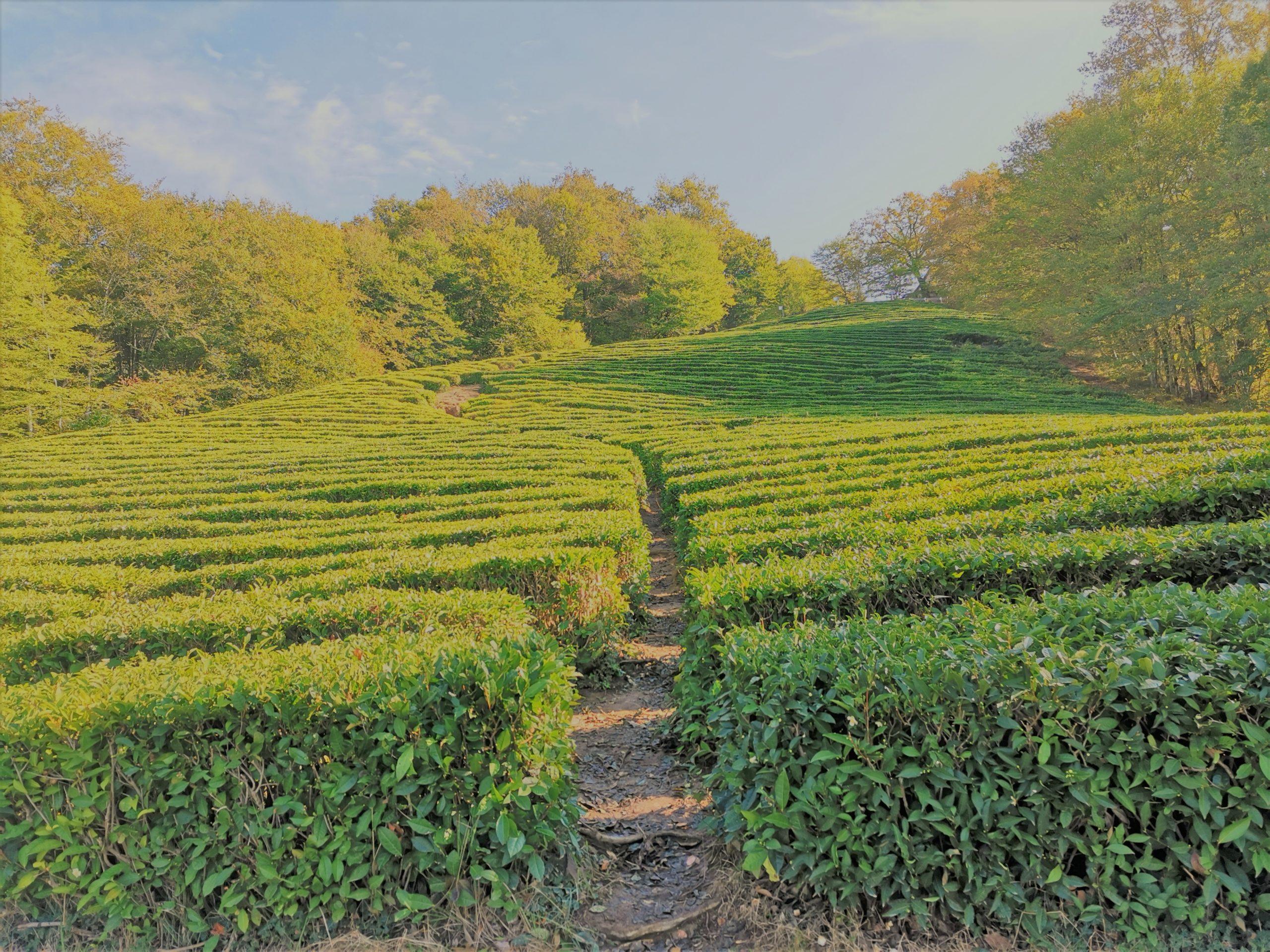чайные плантации сочи